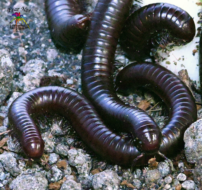 "Orthoporus ornatus (Desert millipede) 3"" - 4"" FREE for orders $75 and over. (after discounts and does not include shipping) One freebie per shipment."