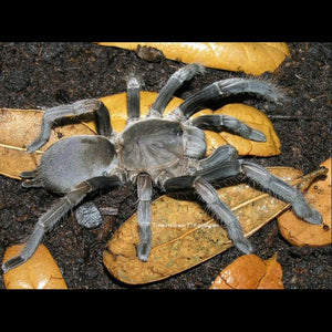 """Down Under"" sale till 2/27  Phlogius sp ""Eunice"" Tarantula (Eunice Whistling Spider) 1"" +"