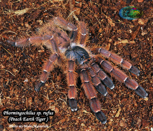 Phormingochilus sp. rufus (Peach Earth Tiger Tarantula) 1 1/4 - 1 1/2""