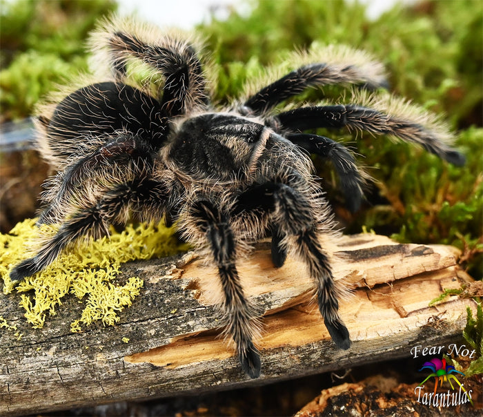 "Tliltocatl albopilosum ( Nicaragua Curlyhair Tarantula) 1/2"" FREE for orders $50 and over. (after discounts and does not include shipping) One freebie per shipment."