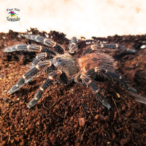 "Neischnocolus (was Ami) sp. Panama (Gold Banded Sunburst Dwarf Tarantula) about 1/8"" - 1/4"" FREE for orders $175  and over!  (after discounts and does not include shipping) One freebie per shipment."