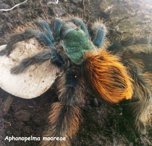 "Aphonopelma mooreae (Mexican Jade Fuego Tarantula)  1"" Nearly 2 years old.  CB  First breeding.  FOR PICKUP LOCALLY (VIRGINIA BEACH) ONLY."