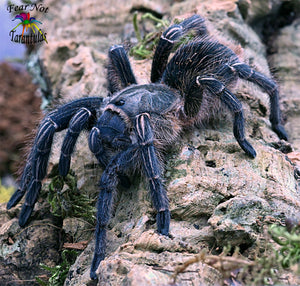 "Aphonopelma seemanni (Costa Rican Zebra, Stripe Knee Tarantula) 1/2""+ FREE for orders $100 and over! (after discounts and does not include shipping) One freebie per shipment."