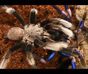 "Chilobrachys sp. ""Electric Blue"" Tarantula 3/4""+"