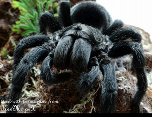 "Grammostola pulchra (Brazilian Black Tarantula) about 1""  Free for orders $300 and over! (after discounts and does not include shipping) One freebie per shipment."