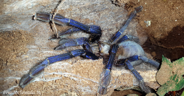 "Omothymus violaceopes (Singapore Blue Tarantula) about 3/4"" FREE for orders $200 and over (after discounts and does not include shipping) One freebie per shipment"