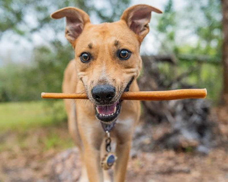 dog with bully stick