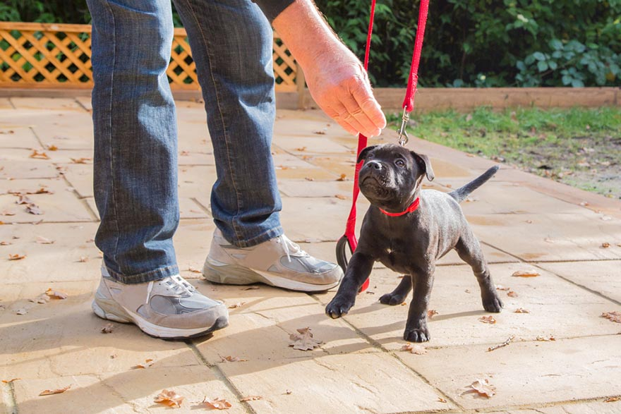 young puppy on leash training