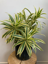Load image into Gallery viewer, Song of Indian Dracaena 10""