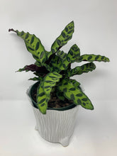 Load image into Gallery viewer, Rattlesnake Calathea - 6""