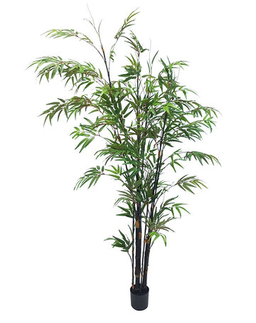 Japanese Bamboo Tree Potted 1.8m
