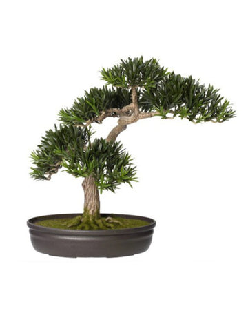 Podocarpus Bonsai Potted 41cm