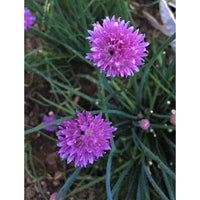 Homegrown Common Chives, Excellent flavor and eat the flower too! The plant will double in size every year!