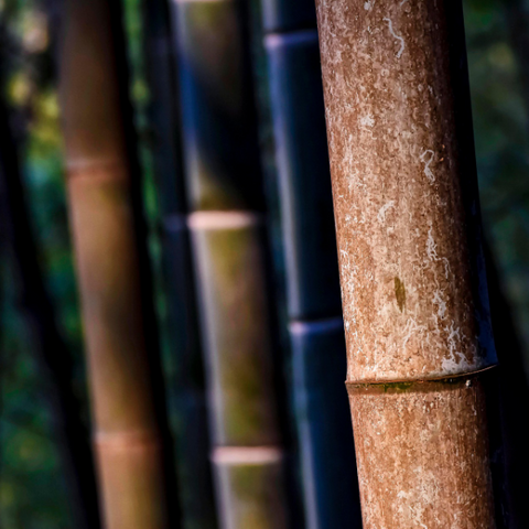 Sugarcane plants that serve as raw material for Willow's Choice biodegradable cling film alternative
