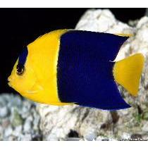 Angelfish Bicolor  (Centropyge bicolor)