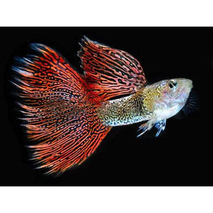 Guppy Red Lace PAIR