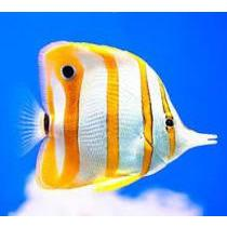 Butterflyfish - Copperband