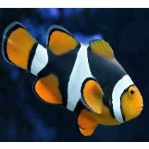 Clownfish - Black Percula Onyx