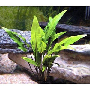 Cryptocoryne LOCAL