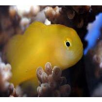 Goby Yellow Clown (Gobiodon okinawae)