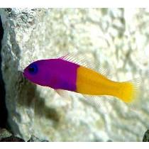 Dottyback Royal FALSE