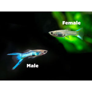 Guppy Endler Japan Blue Female