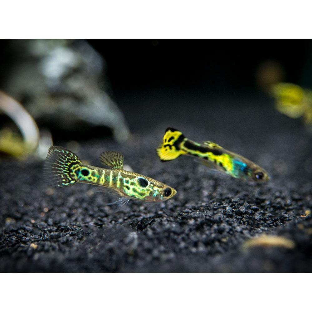 Green Tiger Endler Guppy