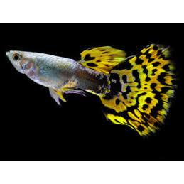 Male Cobra Leopard Tail Guppy