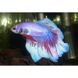 Betta Veil Tail Male