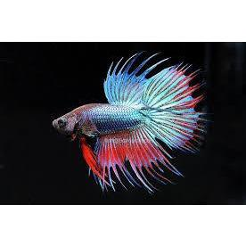 Betta Crowntail Male