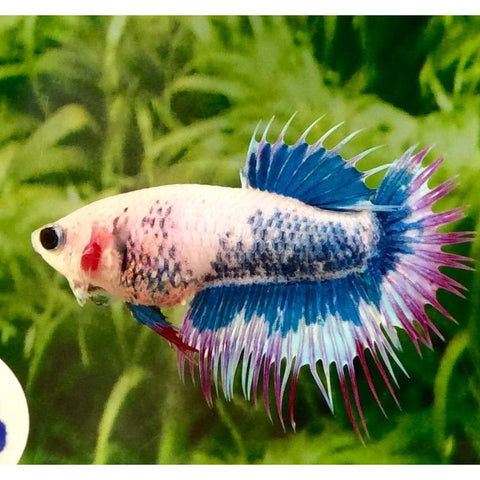 Betta Female Crowntail