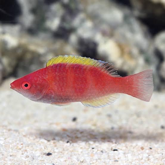 Yellowfin Fairy Wrasse