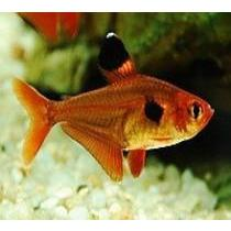 Tetra Red Phantom