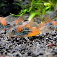 Corydoras Venezuela Orange