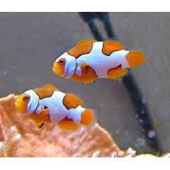 Clownfish - Picasso PAIR