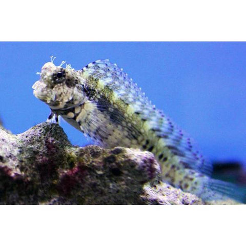Blenny Lawnmower
