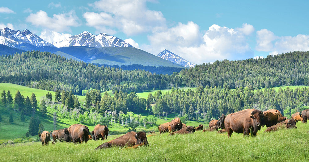 Where We Source Our Sustainable Bison Meat