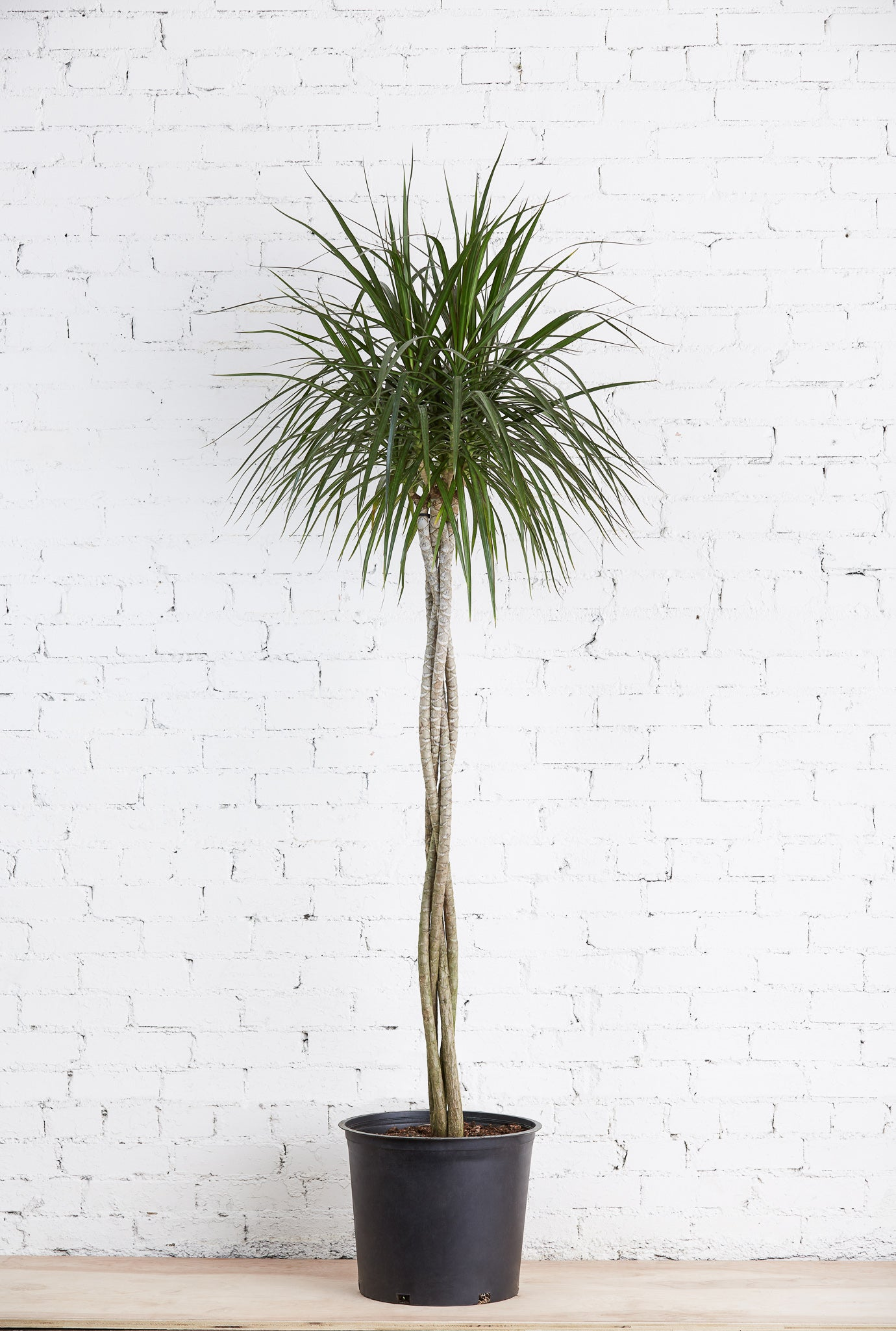 "Dracaena Marginata 14"" Braided"