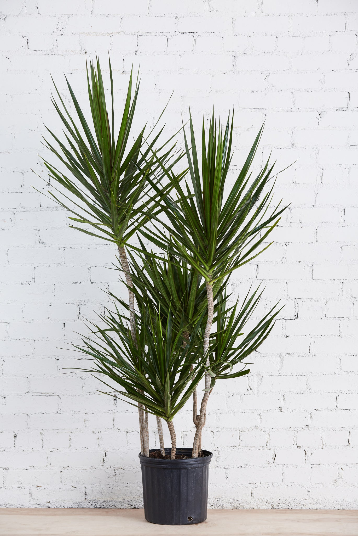 "Dracaena Marginata 10"" Staggered"