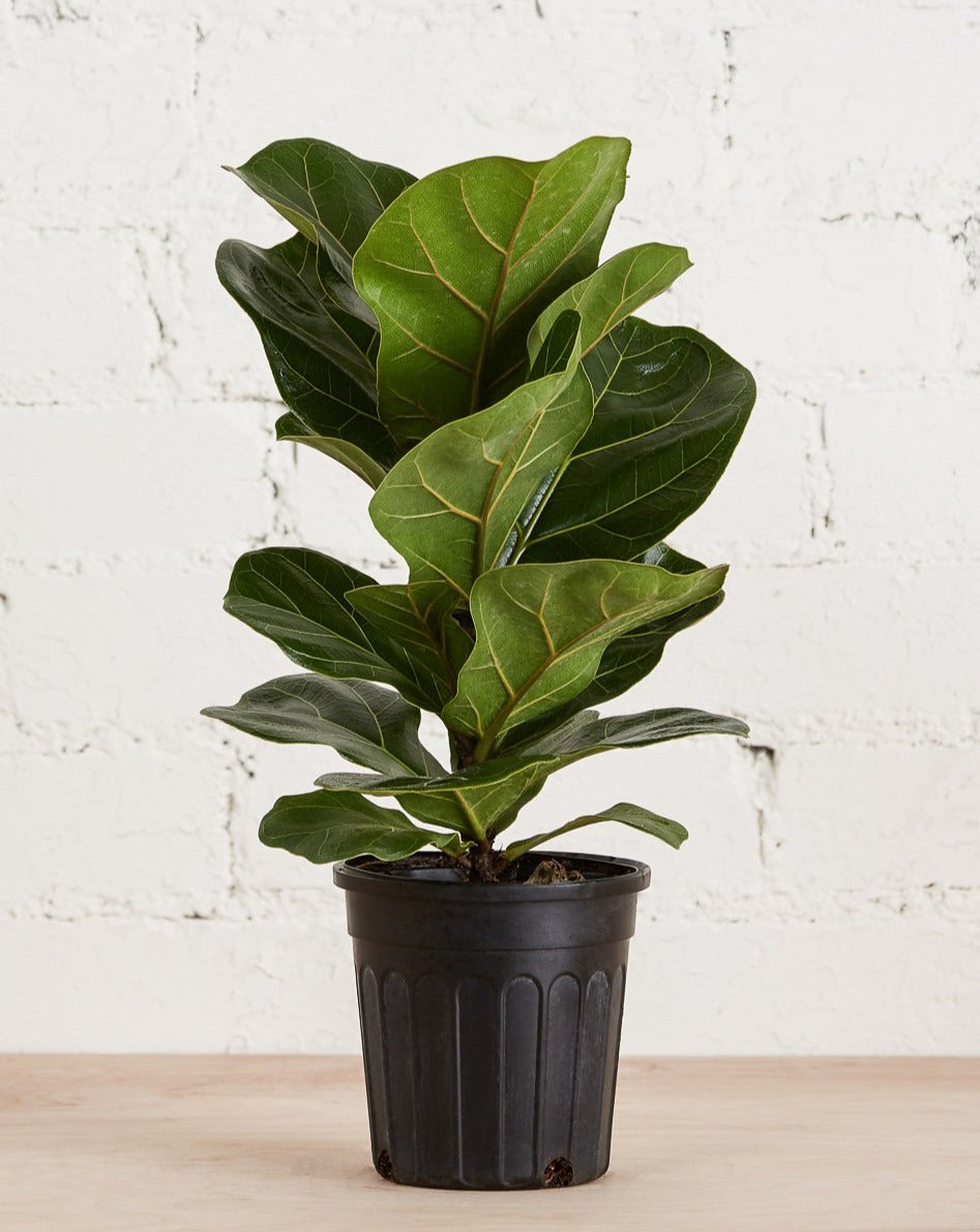 Fiddle Leaf Fig 6""