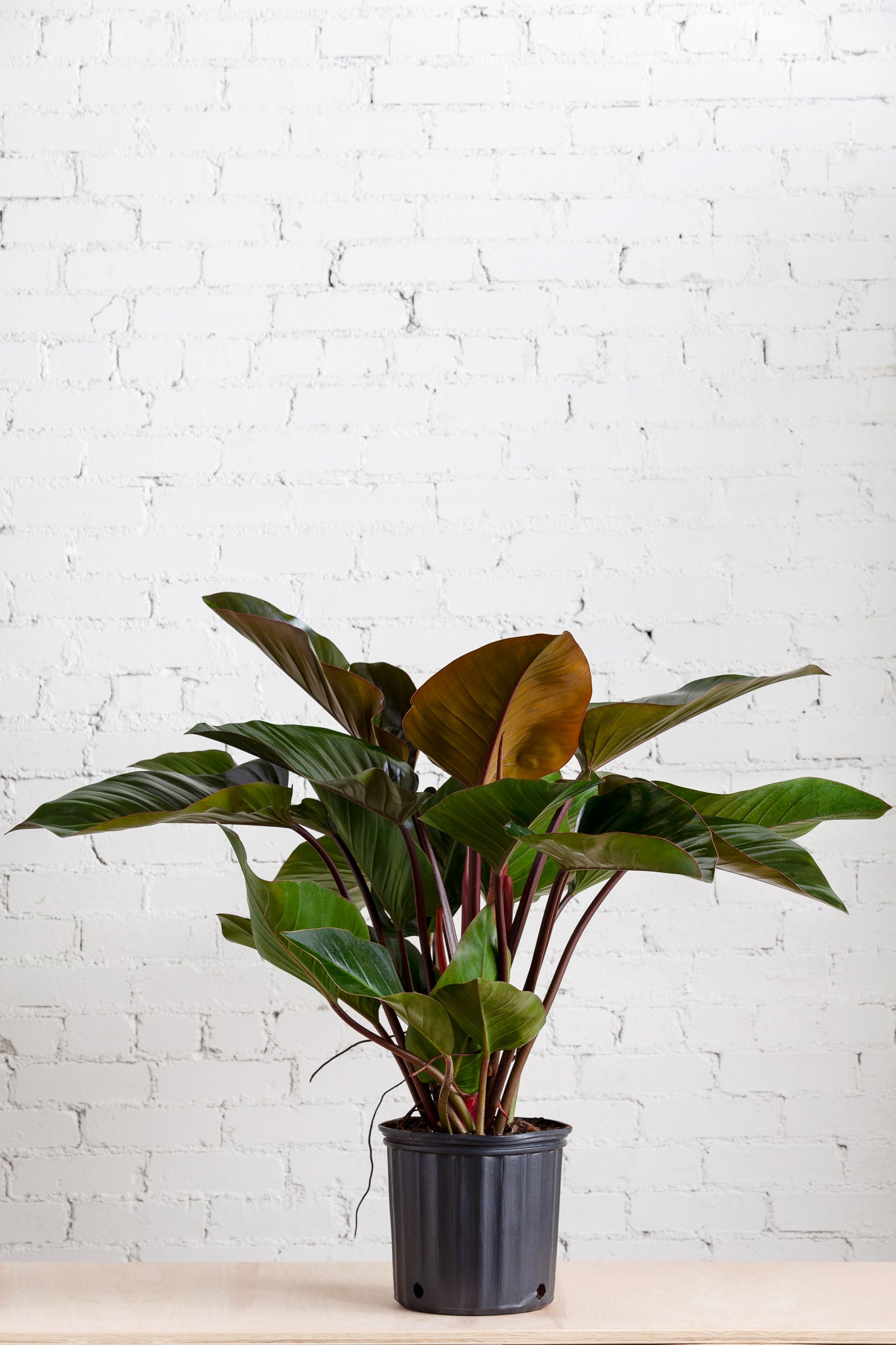 Philodendron Imperial Red 10""