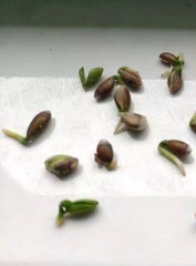 grow diary by WEEGrow WG-600 seeds without skin