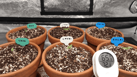 WEEGrow grow diary for germinating red hot cookies