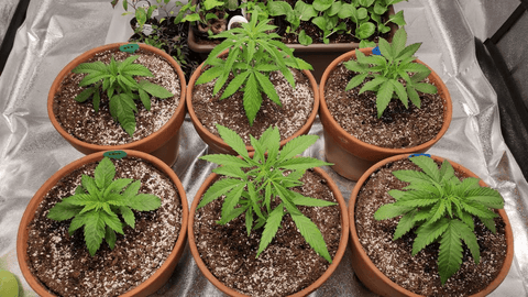 WEEGrow grow diary for red hot cookies