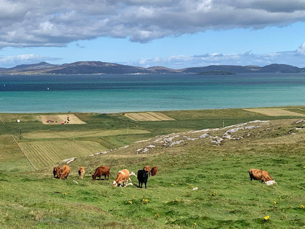 isle of barra cows