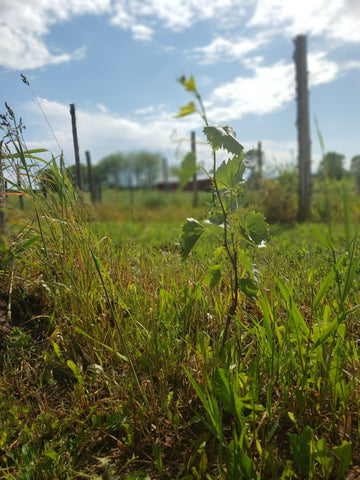 Frontenac grape vine in its first year. Sustainable agriculture farming at WINEaLOT Vineyards LLC