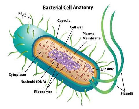 cell structure of bacteria (prokaryotes)