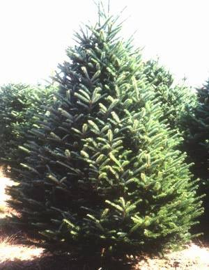 5'-6' Fraser Fir Christmas Tree