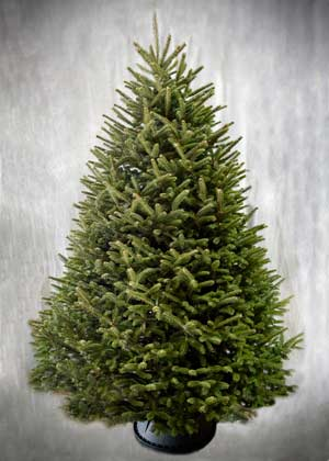 8'-9' Fralsam Fir Christmas Tree
