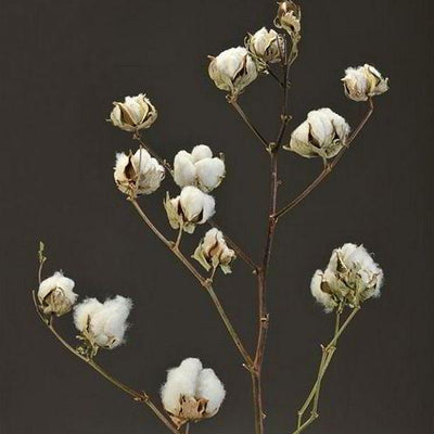 Cotton Bush Stems - pod&seed online